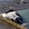 Deep under the sea, whale carcasses breed new life