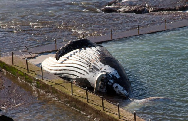 The humpback whale that surfaced in Newport last week. Source: ABC News