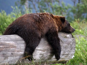 The bear in question takes a nap after mauling the boy