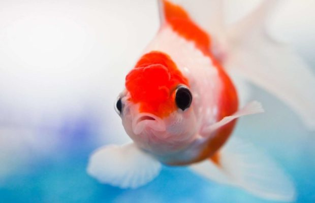 Excellent-Aquarium-Red-Fish-HD-desktop-wallpaper