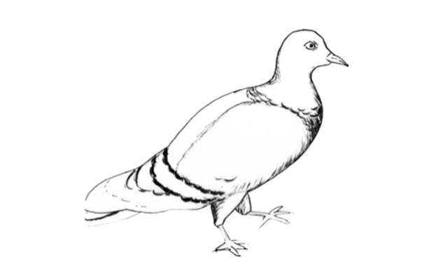 pigeon-for-web