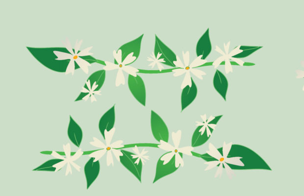 white night jasmine flowers grow amidst green leaves